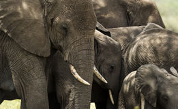 Close-up of a herd of elephants, Serengeti, Tanzania Stock Photo