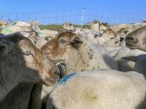 Close-up of herd of sheep, lots of sheep with colored paint marks for a fence of rope, and a blue sky. stock images