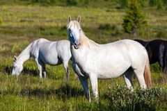 Close-up of a herd of white horses royalty free stock photo