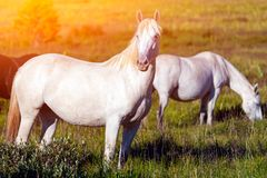 Close-up of a herd of white horses royalty free stock image