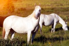 Close-up of a herd of white horses. On a green meadow, in the background a green coniferous forest and blue sky stock images