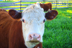 Close up of hereford cow face Royalty Free Stock Photos