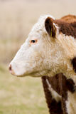 Close-up of hereford cow Stock Photo