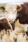 Close-up of hereford cow Stock Photography