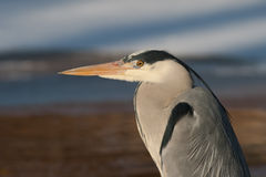 Close-up of a Heron. A close-up of a Heron, looking for food Royalty Free Stock Images