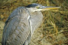 Close-up of Heron, Assateague National Wildlife Refuge, MD Royalty Free Stock Images