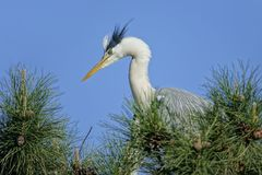 Heron. The close-up herons stand on pine tree. Scientific name: Ardea cinerea Stock Images