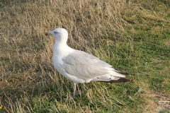 Close-up of a herring gull. A white herring seagull takes a break Royalty Free Stock Photo