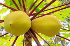Close-up het gele papaja groeien op boom in de tuin stock foto