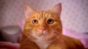 Close-up het schieten van rode huispot die calmly en op rood bed koel, ontzagwekkend pluizig huisdier eruit zien liggen stock videobeelden