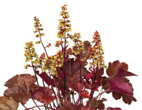 Close up of Heuchera Plant. With whitw blossoms, an evergreen garden plant Royalty Free Stock Images