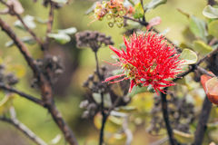 Close up of the ōhiʻa lehua flower Royalty Free Stock Photo