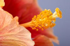 Close-up of the hibiscus flower. Close-up of the red hibiscus flower. Focus is on the stamen Stock Photography