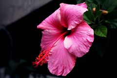 Close up of a hibiscus flower.  Stock Image