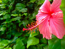 Close-up of hibiscus flower in Big Island, Hawaii Royalty Free Stock Photos