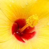 Close up of hibiscus flower Stock Image