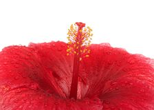 Close up on hibiscus flower stamen isolated on white. Close up on center of one Red Hibiscus flower isolated on white background. Hibiscus is a genus of Stock Photos
