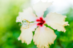 Close up Hibiscus Stock Photo