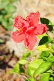 Close-up of Hibiscus rosa-sinensis flower Stock Photography