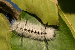 Hickory Tussock Moth Caterpillar. A close up of a Hickory Tussock Caterpillar. The Aposematic coloration of this caterpillar indicates that it is toxic and stock photos