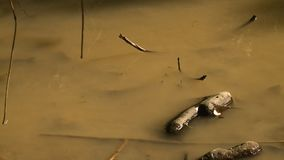 Stagnant stream water at forest scene, Myanmar. Close-up high-angle still shot of brown stagnant stream water with tadpoles and dead plant remains inside a stock video