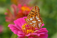 Close up of High brown fritillary butterfly Royalty Free Stock Image