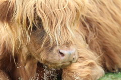 Close up highland Cattle. A close up view of a highland cow with a long fringe covering its eyes Royalty Free Stock Images
