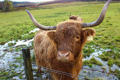 Close-up Highland Coo Royalty Free Stock Images