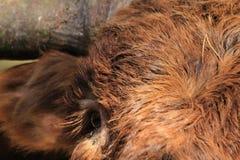 Close up highland cow eye stock photo
