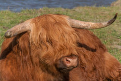 Close up of a highland cow Stock Images