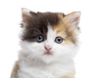Close-up of a Highland straight kitten looking at the camera. Isolated on white Stock Photography