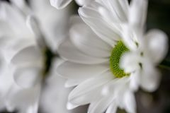 Close-up highly detailed shot of some beautiful white and green chrysanthemums royalty free stock photo