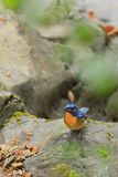 A close up of a Hill Blue Flycatcher standing alone on the rock Royalty Free Stock Image