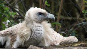 Close-up Himalaia de Griffon Vulture Foto de Stock