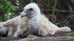 Close-up Himalaia de Griffon Vulture vídeos de arquivo