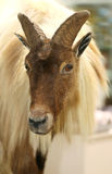 Close up of a himalayan tahr Stock Photography