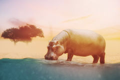Close up on hippo drinking water Royalty Free Stock Photo