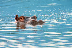 Close-up of hippo Royalty Free Stock Photography