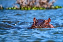 Close hippo or Hippopotamus amphibius in water. Close-up of hippo or Hippopotamus amphibius is resting in the water during the day Royalty Free Stock Photos