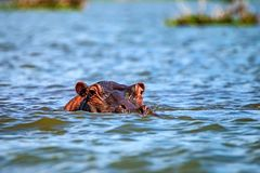 Close hippo or Hippopotamus amphibius in water. Close-up of hippo or Hippopotamus amphibius is resting in the water during the day Royalty Free Stock Photo