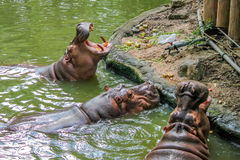 Close-up of hippo with open chaps Stock Photos