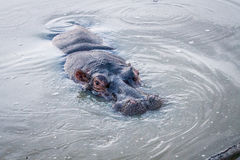 Close up of a Hippo in the water. Stock Photos