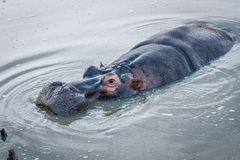Close up of a Hippo in the water. Stock Images
