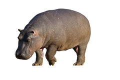 Close-up of Hippopotamus. Against a white background; hippopotamus amphibius stock image