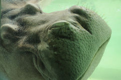Close up on Hippopotamus Stock Photography