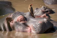 Close-up of hippopotamus with oxpecker in water stock photos