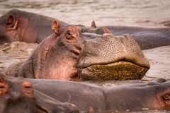 Close-up of hippopotamus resting head on another Stock Images