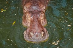 Close-up a hippopotamus Stock Photo