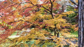 Close up in Hirosaki Castle maple Royalty Free Stock Photography