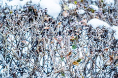 Close-up of hoar frost on linden tree branches Royalty Free Stock Photos